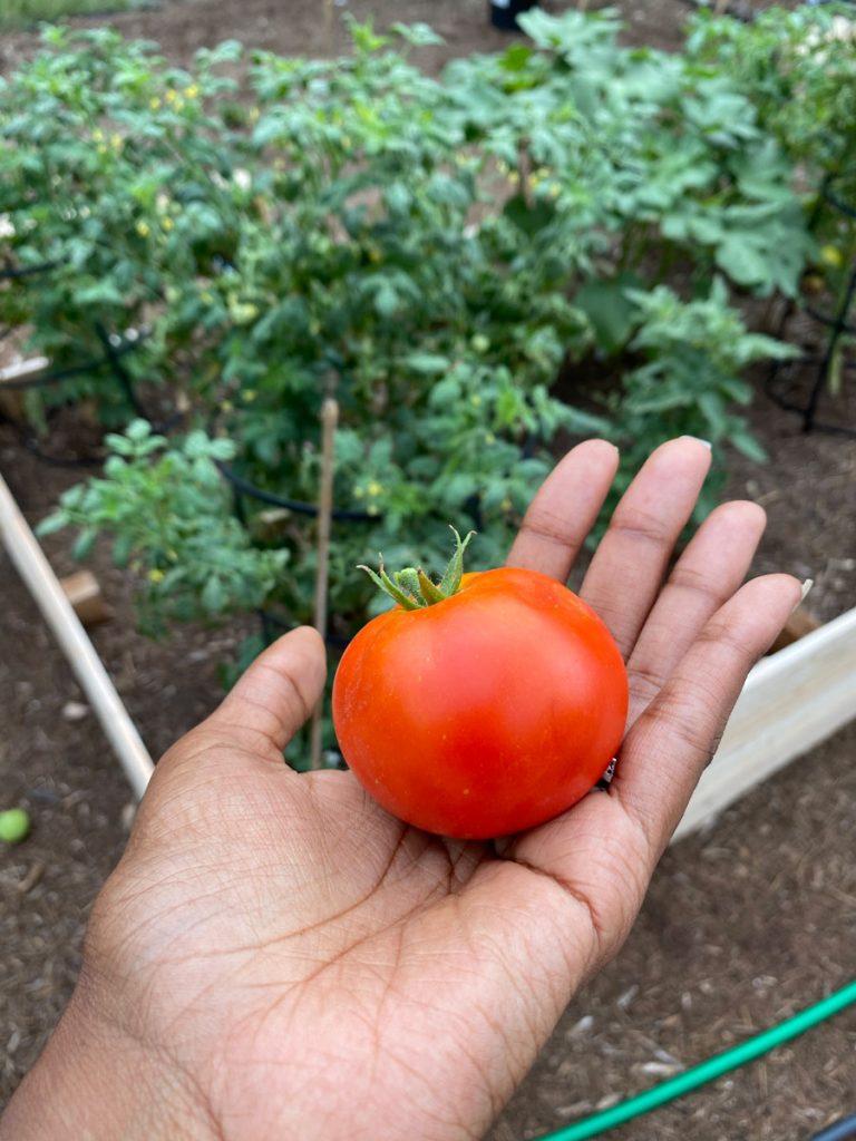 sicili tomato from a backyard garden